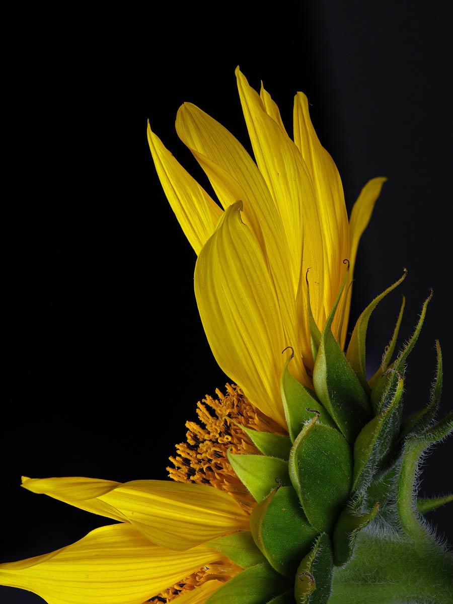 Sonnenblumen – mehr als Öl und Kerne - Sonnenblume - BellsWelt