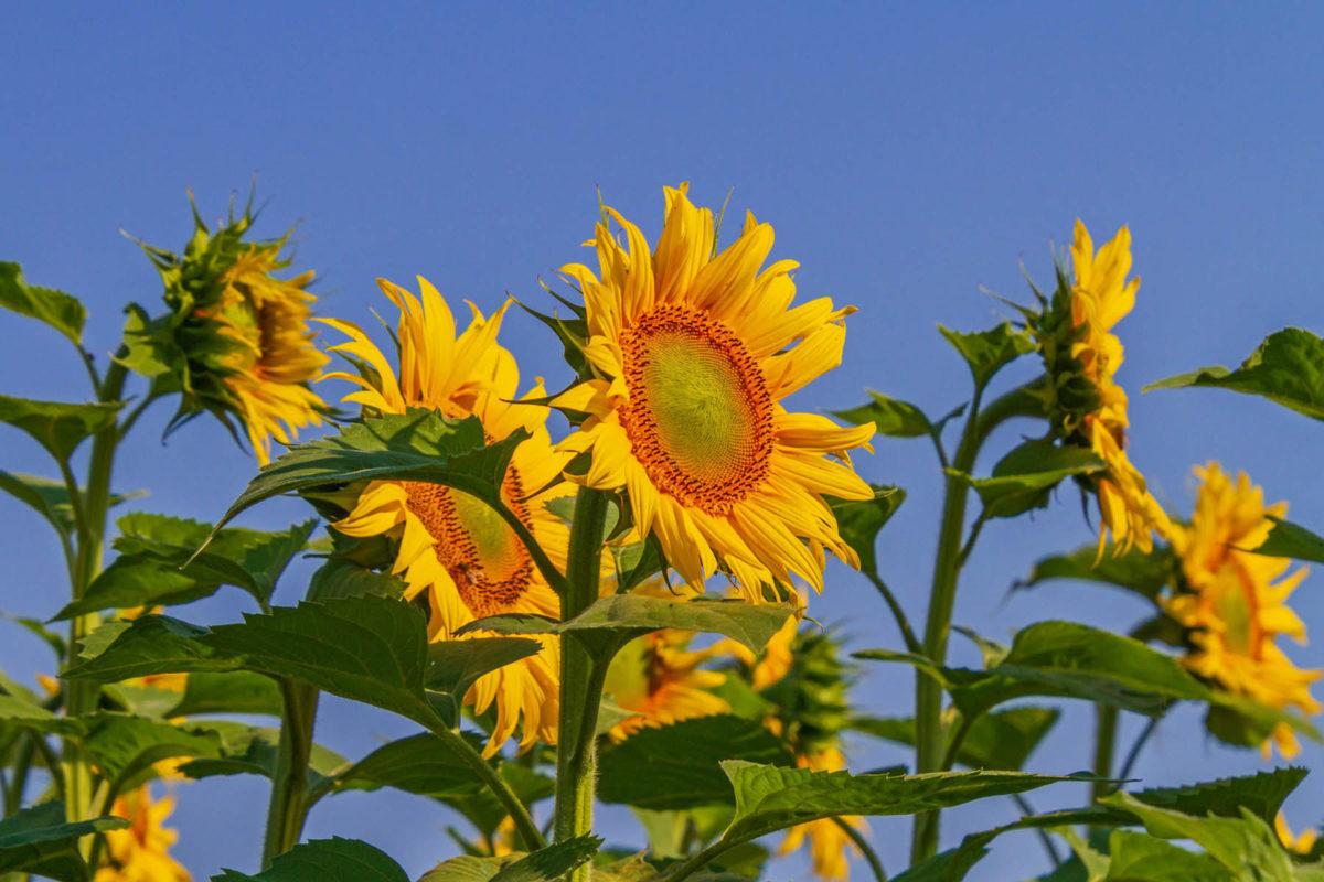 Sonnenblumen – mehr als Öl und Kerne - Sonnenblumen im Garten- BellsWelt