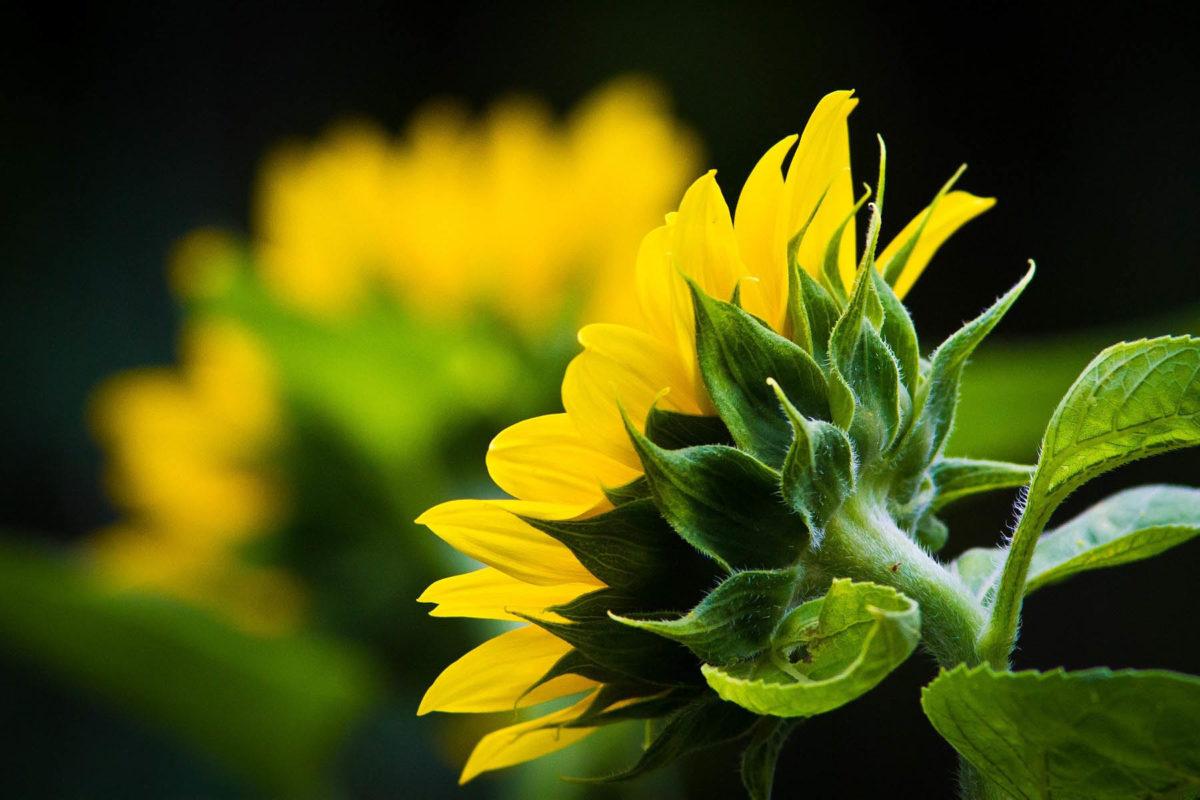 Sonnenblumen – mehr als Öl und Kerne - Sonnenblumenblütenblätter - BellsWelt