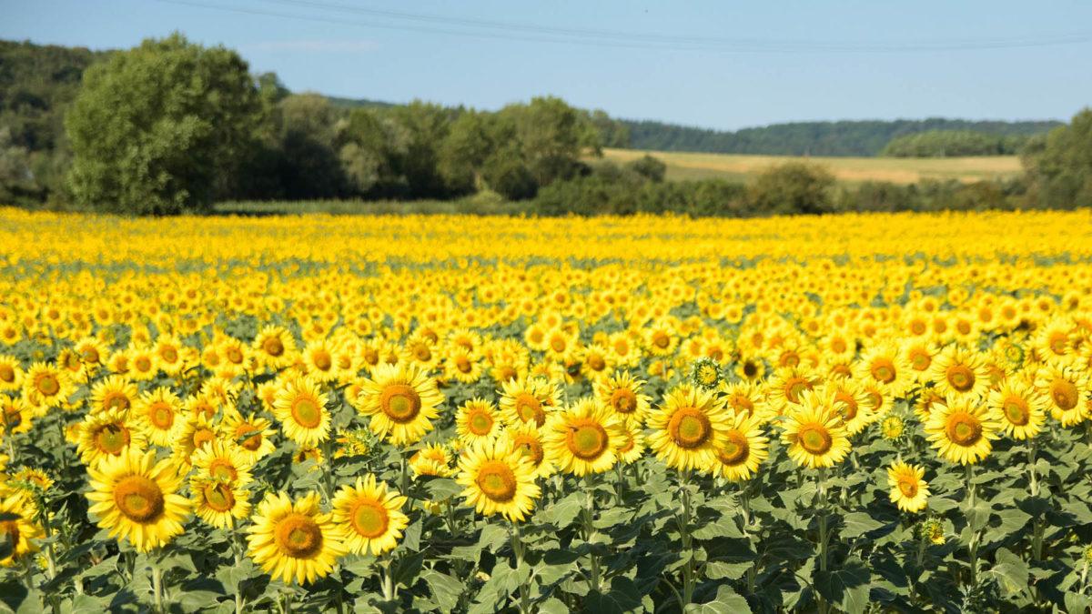 Sonnenblumen – mehr als Öl und Kerne - Sonnenblumenfeld - BellsWelt