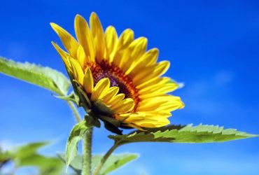 Sonnenblumen – mehr als Öl und Kerne - Titel- BellsWelt